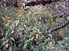 Buddleja longifolia