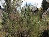 Monnina salicifolia, Bomarea dulcis, Tuctupampa 4100m