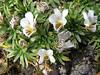 Viola pygmaea (Quara Quara 4530m - Gara Gara pass 4840m - Jancarurish 4250m, Cordillera Blanca)