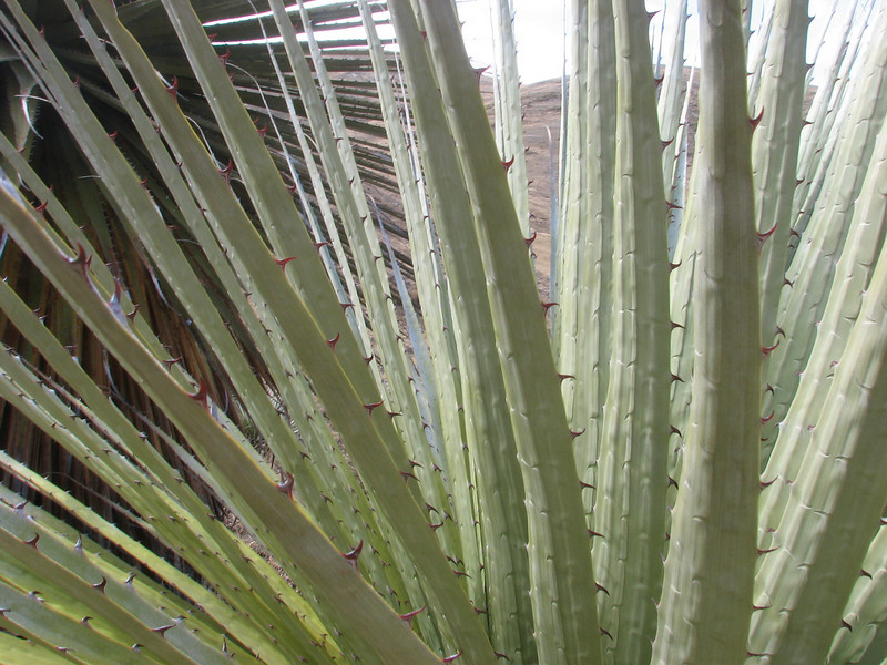 thorns of Puya raimondii, Huinchus 4300m.