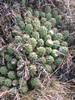 Austrocylindropuntia punta-caillan (Cordillera negra)