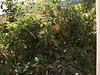 Loasa grandiflora