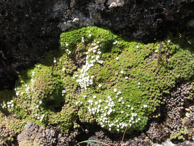 Dactylocardamum imbricatifolium