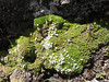 Dactylocardamum imbricatifolium,    Osoruri pass 4860m.