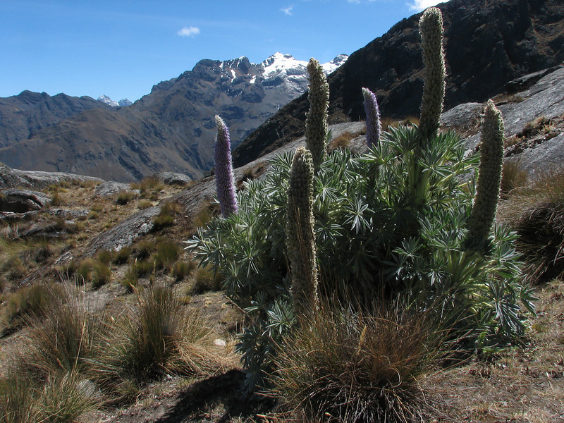 Lupinus weberbauerii, Osoruri pass 4860m