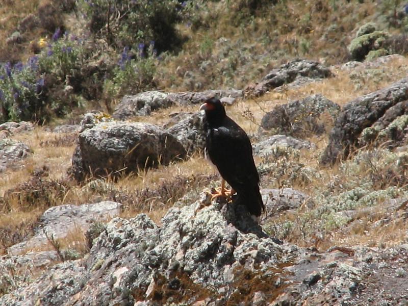 Phalcoboenus megalopterus (Mountain Caracara)(Caraz 2290m - Huinchus 4300m) (Cordillera Negra)