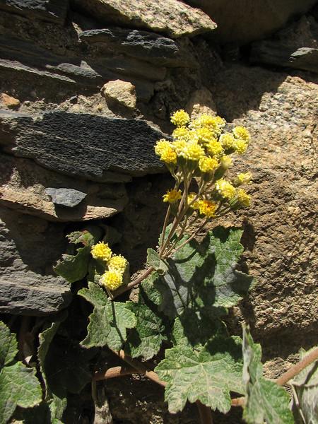 Jungia paniculata