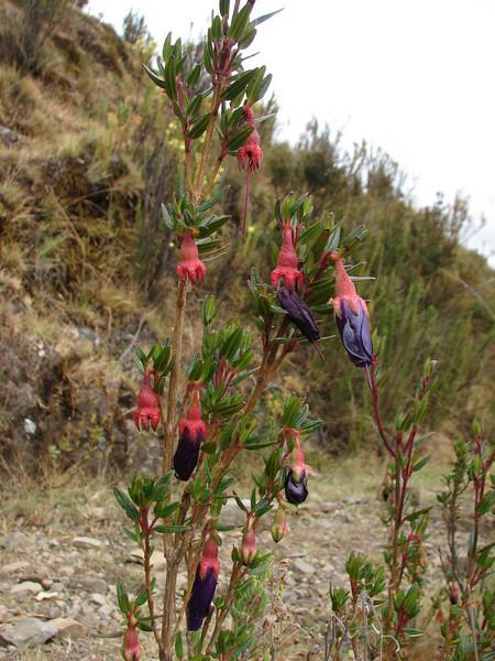 Brachyotum rostratum, near Pomabamba 2950m
