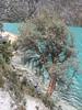 Polylepis ssp. (Llanganuco lake)