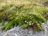 Arcythophyllum thymifolium, Pomabamba 2950m - Yuraj Machay 4000m