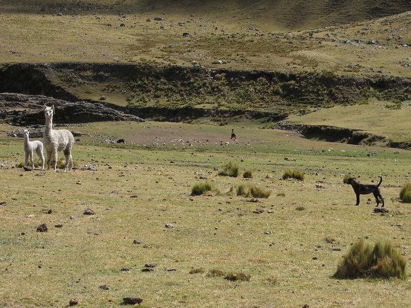 Lama pacos (Alpaka) and Hoover, Pampa Huilca