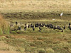 Plegadis ridgwayi (Black Ibis), Lake Garampayoc-chica