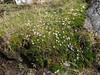 Arcythophyllum thymifolium??, Pomabamba 2950m - Yuraj Machay 4000m