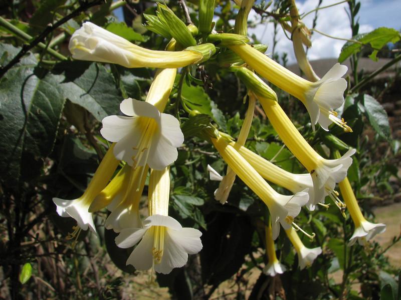 Brugmansia arborea (Datura)