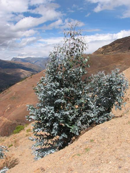 Eucaliptus globulus