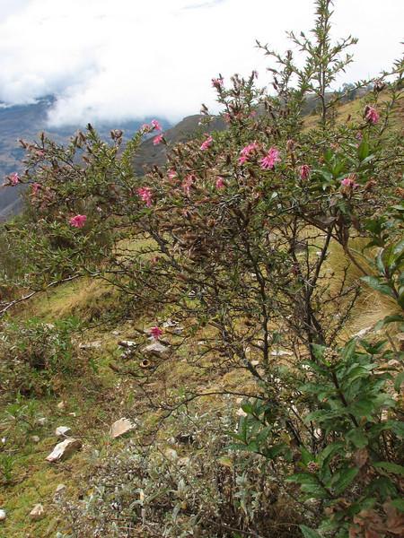 Barnadesia horrida, Pomabamba 2950m