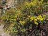 Calceolaria aff. cypripediiflora