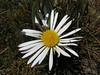 Werneria nubigena