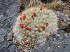 Austrocylindropuntia floccosa, Jancarurish 4250m - Osoruri 4860m pass - Osoruri camp 4550m