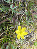 Sisyrinchium spec. (Llanganuco valley 4100m)