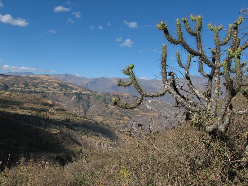 Opuntia diffusa, near Hualcayan 3150m