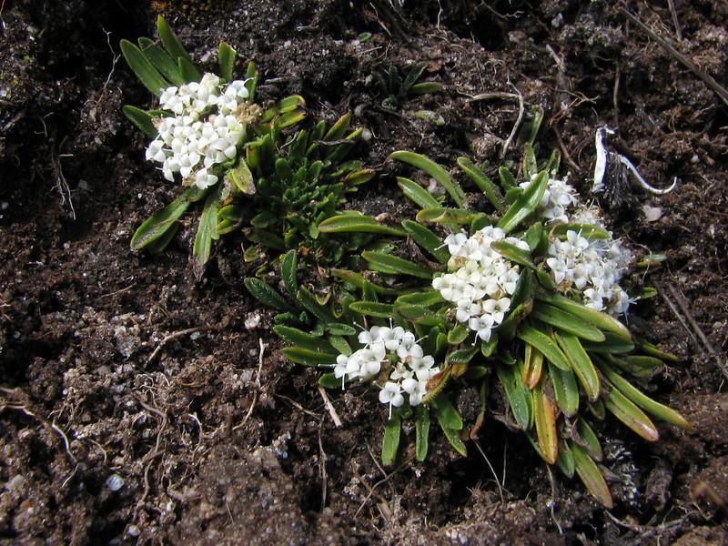 Valeriana rigida (syn. Phyllactis rigida)    Tuctupampa 4100m
