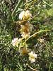Cuscuta odorata (parasite)(Cashapampa 2950m - Llamacoral 3750m)