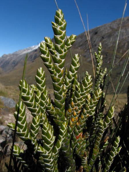 Loricaria ferruginea