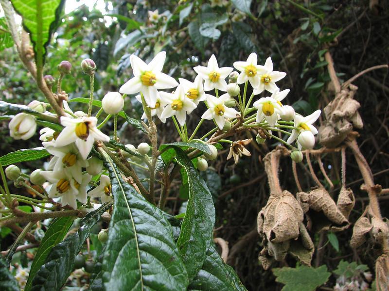 Solanum ochrophyllum X S. naturecalvans
