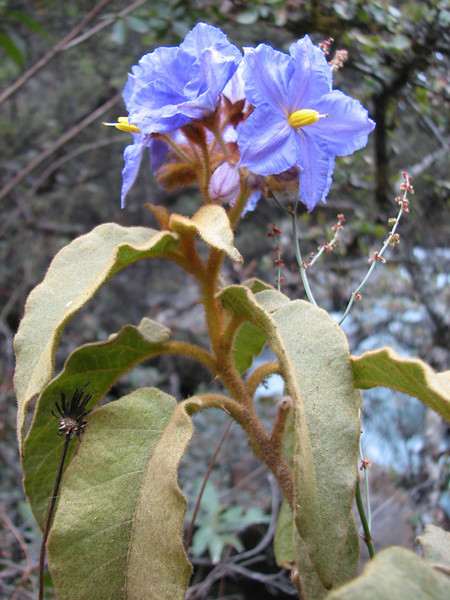 Solanum hispidum