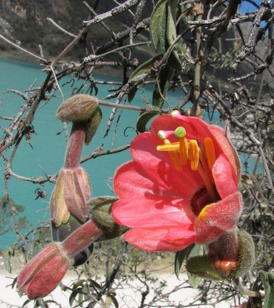 Passiflora trifoliata (Llanganuco valley 4100m. Parc Nacional Huascaran)
