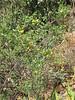 Tecoma sambucifolia
