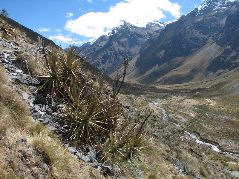 Puya angusta, Jancarurish 4250m - Osoruri 4860m pass - Osoruri camp 4550m