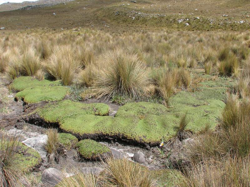 Plantago rigida
