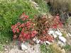 Gentianella weberbauerii, Quara Quara pass 4840m