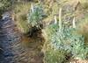 Lupinus weberbauerii