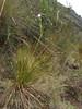 Orthrosanthus chimborocensis var. tunariensis Ingeno 4000m