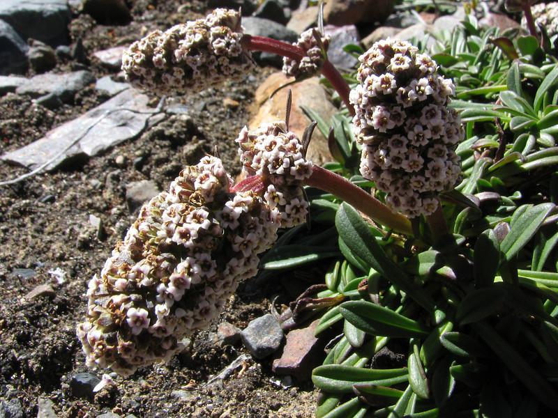 Valeriana globularis, Safuna lakes 4300m