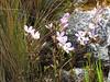 Gentianella tristicha