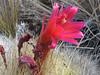 flower of Matucana yanganucensis (Huinchus 4300m Cordillera Negra)