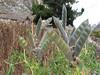 fruit of Lupinus mutabilis (culture plant)