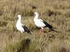 Chloephaga melanoptera (Andean goose), campground Safuna 4200m