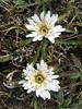 Perezia multiflora, Bomarea dulcis, Tuctupampa 4100m