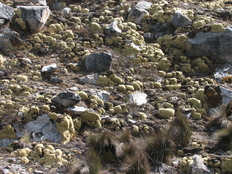 Pycnophyllum molle var. huascaranum, Osoruri pass 4860m. Huascaran National Park