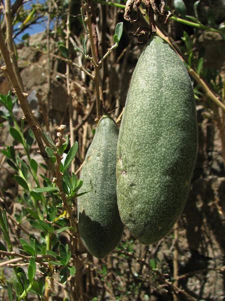 Passiflora spec.