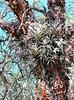 habitat Tillandsia oroyensis, National Park Huascaran, (Identification: Walter Till, University Vienna Austria)