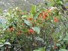 Tristerix longebracteatus (Llanganuco valley 4100m)