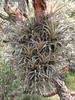 Tillandsia oroyensis, National Park Huascaran, (Identification: Walter Till, University Vienna Austria)