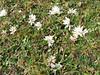 Perezia multiflora