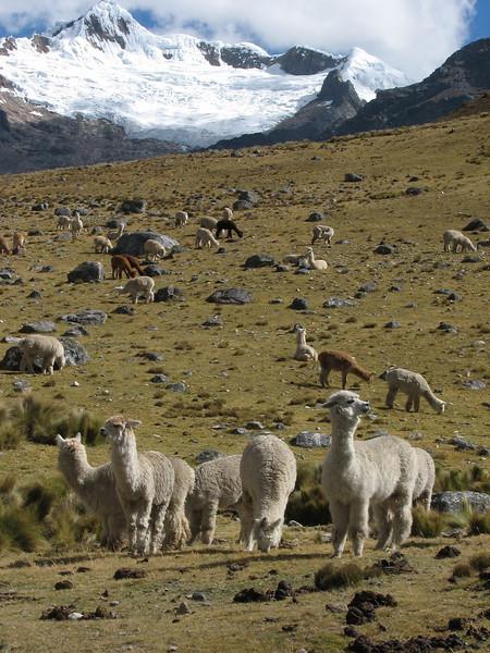 Lama pacos (Alpaka)